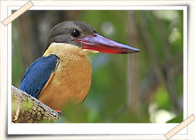 stroked-billed-kingfisher